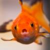 弱った金魚への特効薬は塩!?塩浴をしてみよう!