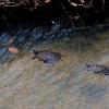 ミドリガメの飼育は意外と大変!?飼うときの注意点と豆知識